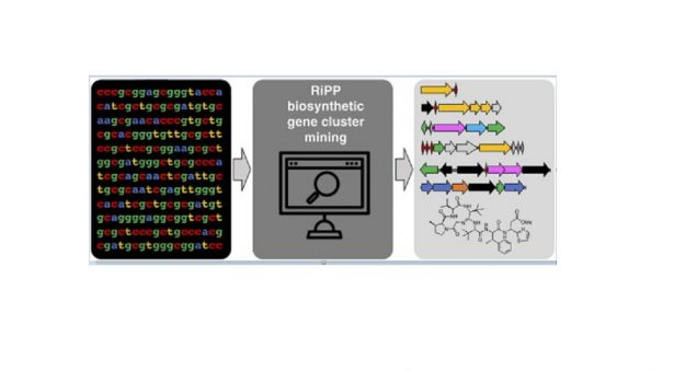 New publication for Alicia Russell; Genome mining strategies for ribosomally synthesised and post-translationally modified peptides.